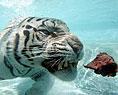 Фото бенгальский тигр